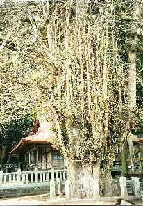 Ginkgotree at the Tsutsuga temple, Hiroshima, Japan