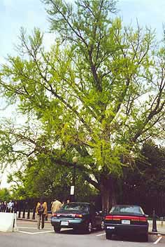 Ginkgotree at the White House, Washington, D.C., U.S.A.